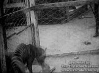 Thylacine_vide